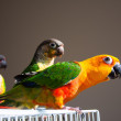 Cute Sun Conure and Green Cheek Conure - Lizenzfreies Foto