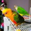 Cute Sun Conure and Green Cheek Conure - Stock fotografie