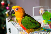 Cute Sun Conure and Green Cheek Conure — Zdjęcie stockowe