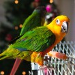 Cute Sun Conure - Foto Stock