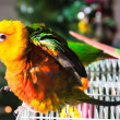 Cute Sun Conure - Photo
