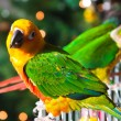 Cute Sun Conure and Green Cheek Conure - Foto de Stock