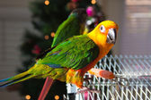 Cute Sun Conure — Stock Photo