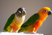 Cute Sun Conure and Green Cheek Conure — ストック写真