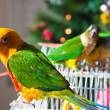 Cute Sun Conure and Green Cheek Conure — Photo
