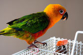 Cute Sun Conure — Photo