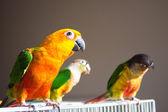 Cute Sun Conure and Green Cheek Conure — Stock Photo