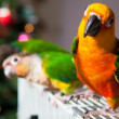 Cute Sun Conure and Green Cheek Conure — Foto de Stock
