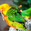 Cute Sun Conure and Green Cheek Conure - 图库照片