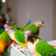 Cute Sun Conure and Green Cheek Conure — Stock Photo