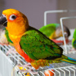 Cute Sun Conure and Green Cheek Conure - ストック写真