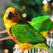 Cute Sun Conure and Green Cheek Conure — Stok fotoğraf