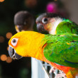 Cute Sun Conure and Green Cheek Conure - Foto Stock