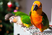 Cute Sun Conure and Green Cheek Conure — 图库照片