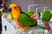 Cute Sun Conure and Green Cheek Conure — Stock fotografie
