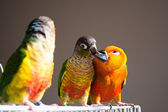 Cute Sun Conure and Green Cheek Conure — Стоковое фото