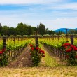 Colorful vineyards in Napa Valley,California — Stock Photo