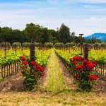 Colorful vineyards in Napa Valley,California — Stock Photo