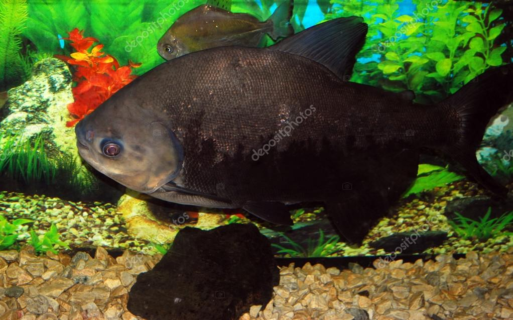 Big black fish stock photo hellyf 31366661 for Big fish script