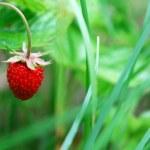 Ridge with the ripe berries of wild strawberry — Stock Photo #31385925