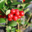 Stock Photo: Ripe berries of cowberries.