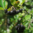 A branch of the ripe berries of a chokeberry. — Stock Photo