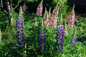 Bright lupine flowers — Stock Photo
