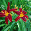 Stock Photo: Bright red flowers lily