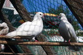 A pair of white pigeons — Stock Photo
