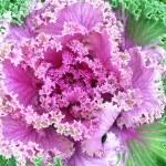 Ripe cabbage — Stock Photo #33685915