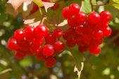 Ripe red berries — Stock Photo