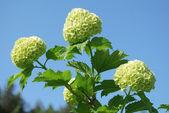 Bush blooming white hydrangea — Stock Photo