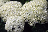 Bush kvete bílými hortenzie — Stock fotografie