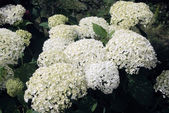 Bush blooming white hydrangea — Stock Photo
