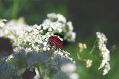 Skalbagge på vita blommor — Stockfoto