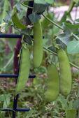 Pod green peas — 图库照片