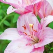Stock Photo: Pink lily with buds and leafs