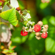 Stock Photo: Raspberry on branch in fruit garden