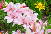 Pink lily flowers in garden — Photo