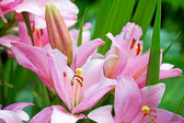 Pink lily with buds and leafs — Stock Photo