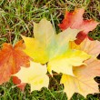 Colored maple leaves — Stock Photo