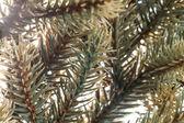 ветви елки — Стоковое фото