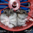 los hamsters — Foto de Stock