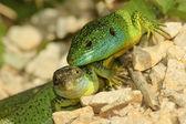 Green lizard (lacerta bilineata) — Stock fotografie
