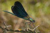 Beautiful Demoiselle (Calopteryx virgo) — Foto de Stock