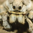 Wolf spider (Lycosa tarantula) - Stock Photo