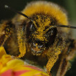 Stock Photo: Bumblebee covered in pollen