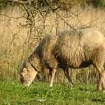 Sheep grazing — Stock Photo #26298735