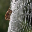 European garden spider (Araneus diadematus) — Stock Photo