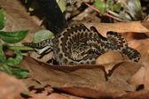 Seoane's viper (Vipera seoanei) — Стоковое фото